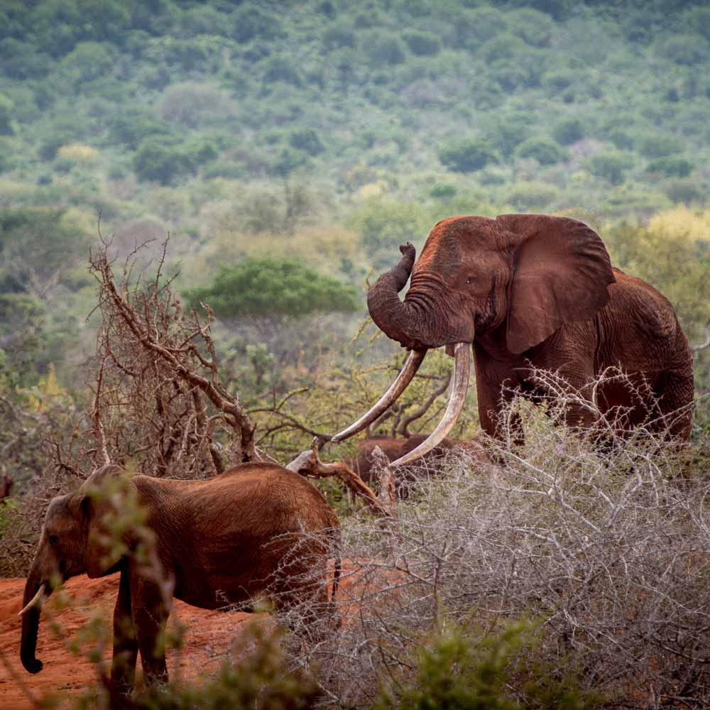 Large bull elephant in Rukinga, Kenya | © Ranger Campus | Photo by Cees Baardman, 2017